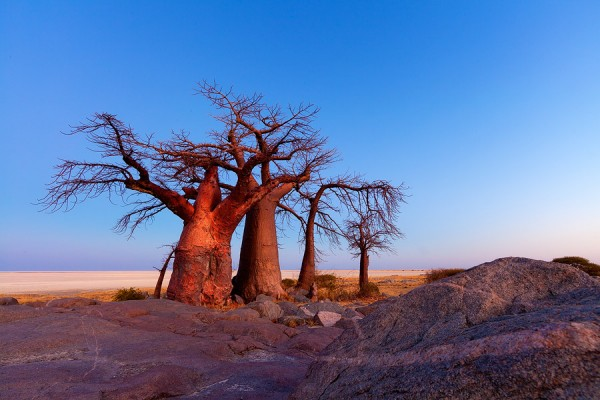 Trees of Botswana 2