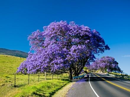 Jacaranda tree blooming along the road