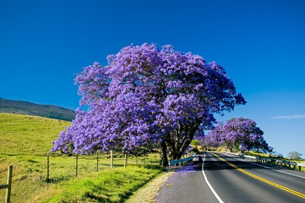 Jacaranda tree blooming along the road