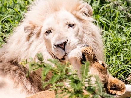 Lazy Lion 3