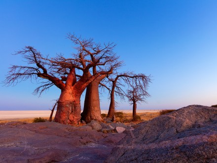 Trees of Botswana 2